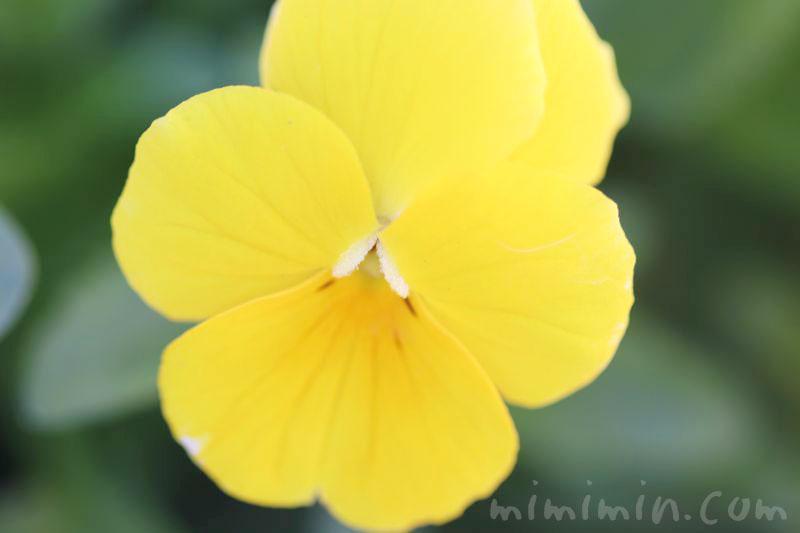 黄色のパンジー(花言葉・誕生花)の画像
