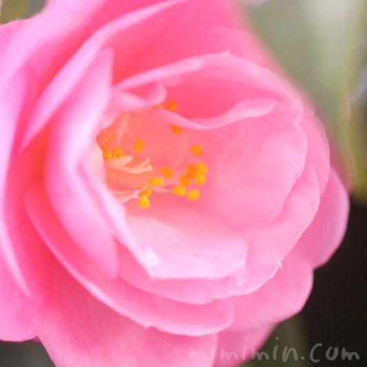 ツバキ(椿)の花・ピンクの画像