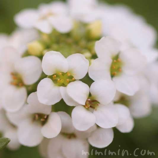 アリッサムの白い花