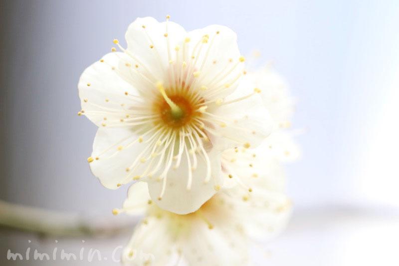 梅(白)の花の写真と花言葉の画像