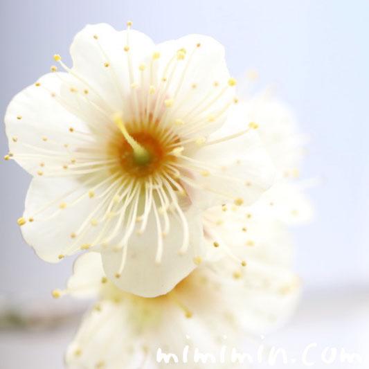梅の花言葉・誕生花