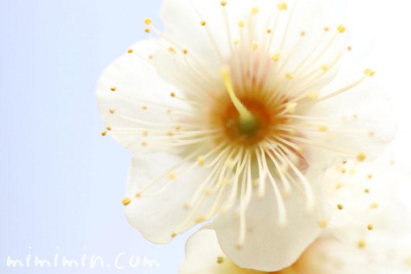 梅の花の写真と花言葉の画像