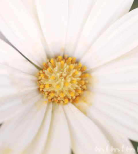 白いオステオスペルマム|花の写真・花言葉