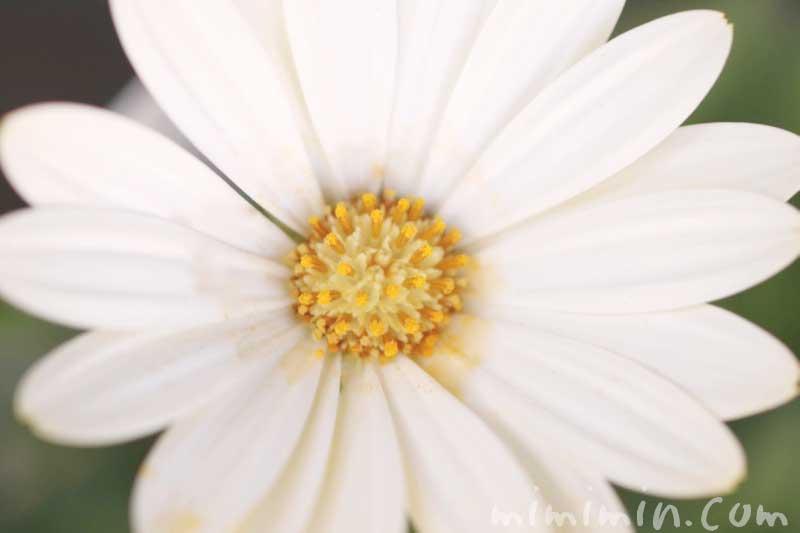 白いオステオスペルマムの写真・花言葉の画像