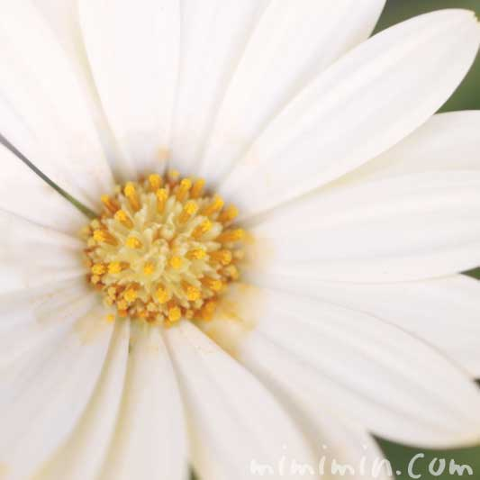 白いオステオスペルマムの花の写真・花言葉の画像