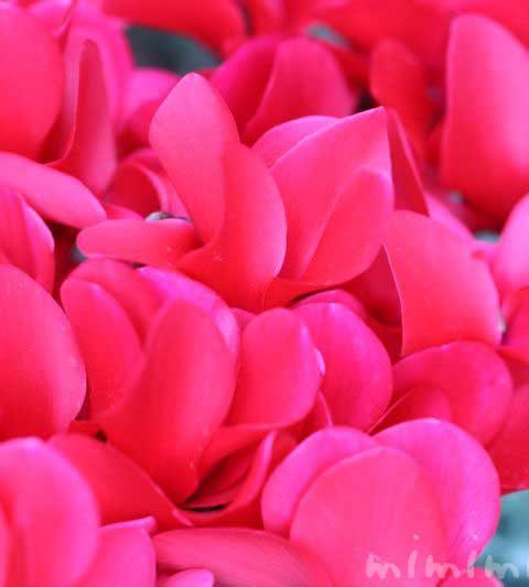 シクラメン(ピンク色)|花の写真・花言葉