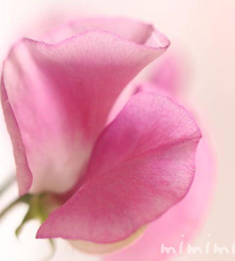 スイートピーの花の写真・花言葉・名前の由来