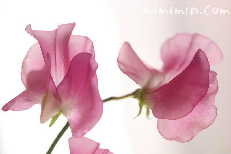 スイートピー  ピンクの画像