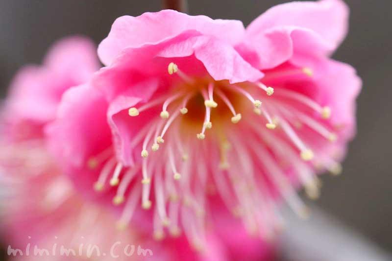 ウメの花・ピンクの画像