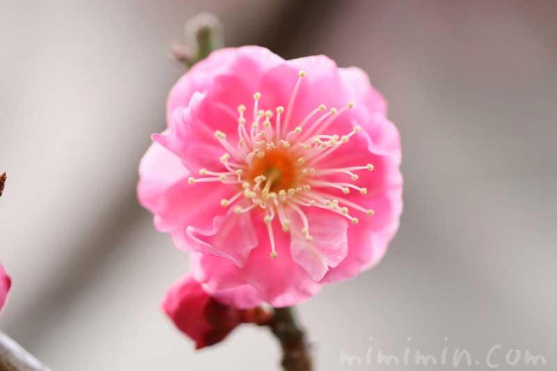 ウメの花・ピンク