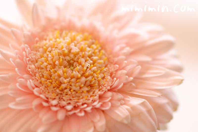ガーベラの花の写真・薄いピンク