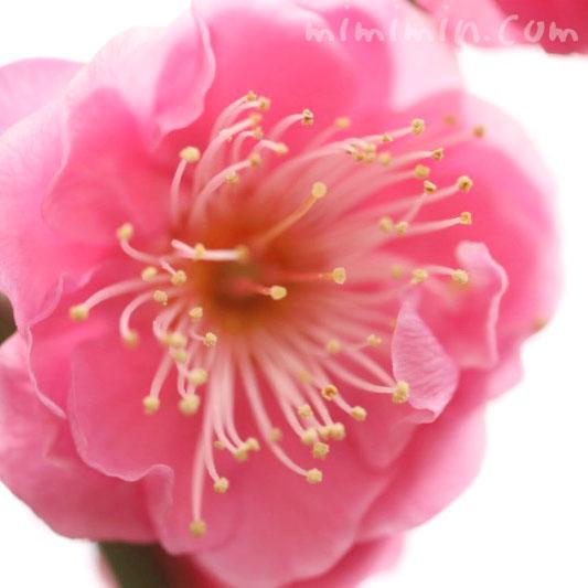 紅梅・花言葉の画像