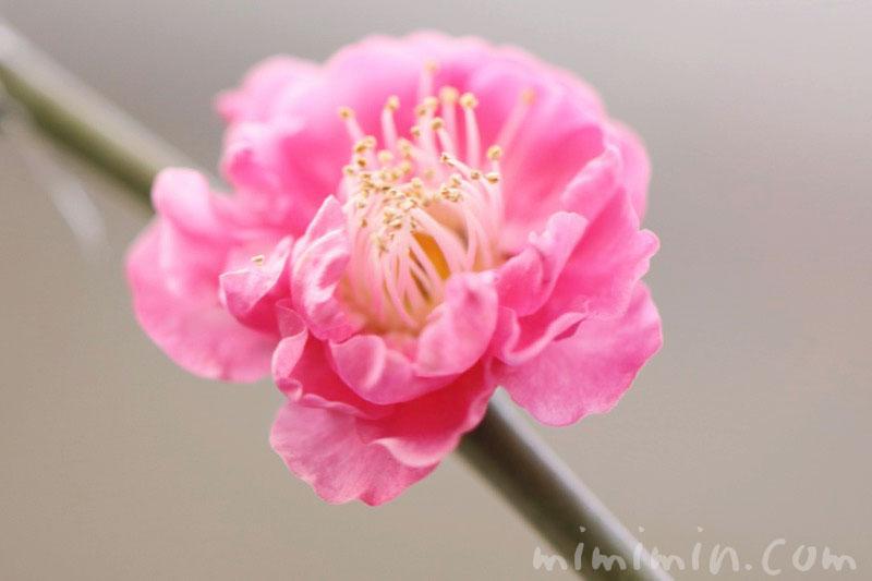 梅の花の写真・ピンク色の梅の花の画像