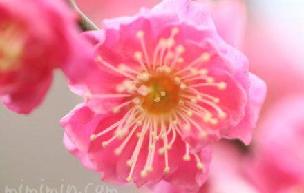 梅の花の名所の写真