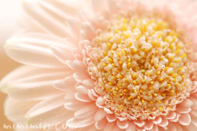 ガーベラの花・薄いピンク