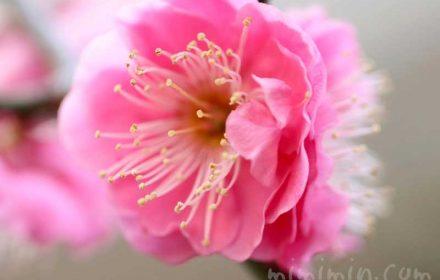 梅の写真・ピンク色の梅の画像