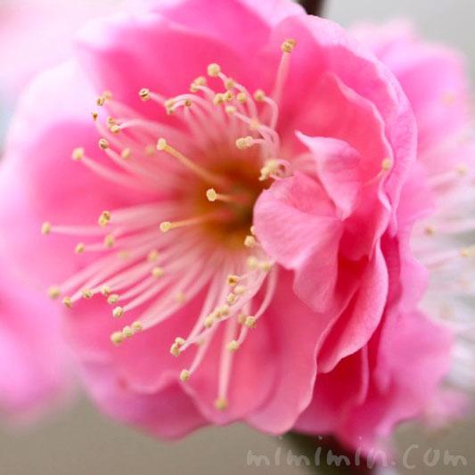 梅の写真・ピンク色の梅の花の画像
