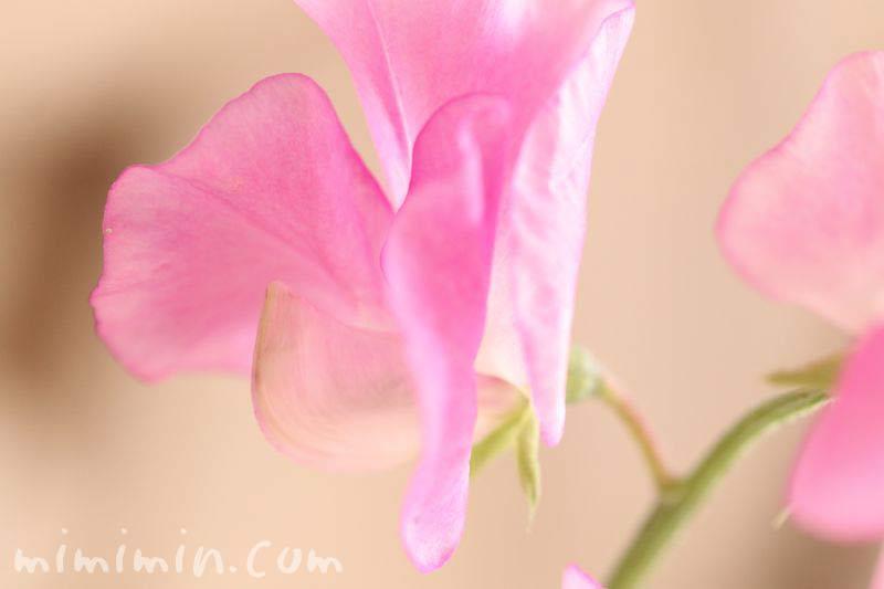 スイートピーの花の写真