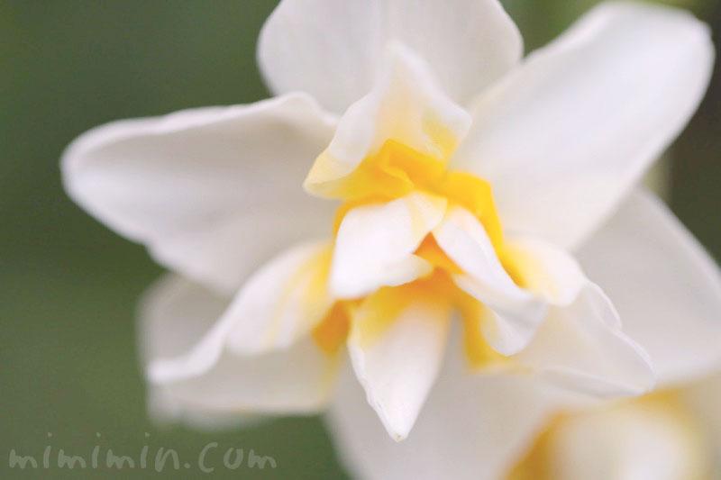 スイセン(水仙)の花言葉|白いスイセンの写真の画像