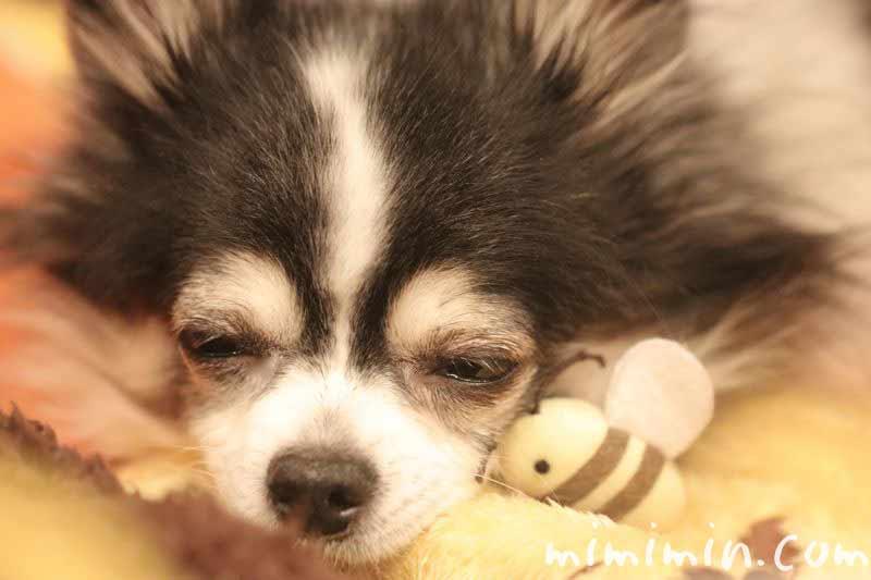 白黒チワワの寝顔の写真
