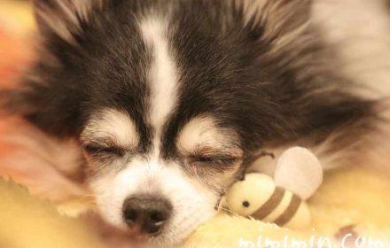 チワワの寝顔の写真
