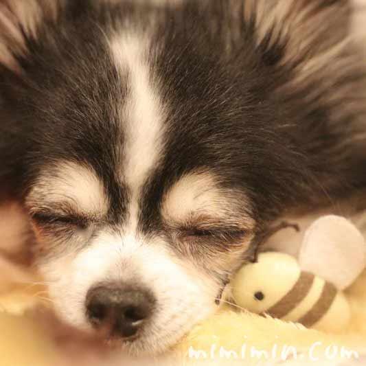 犬のチェリーアイの画像