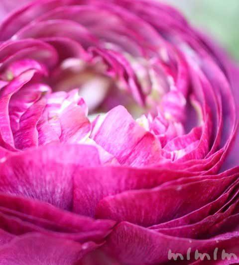 ラナンキュラスの花の写真・ラナンキュラスの花言葉