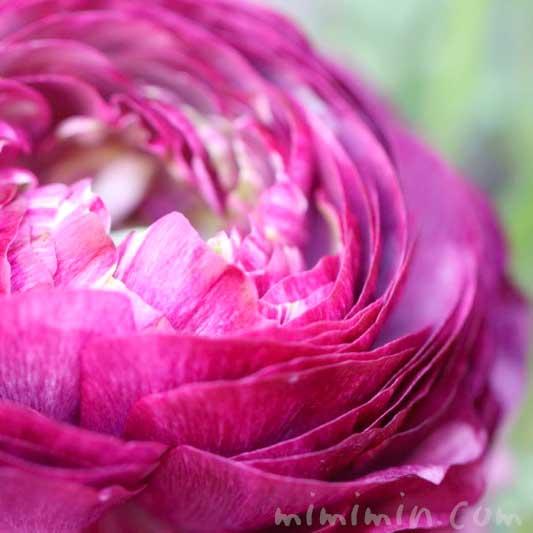 ラナンキュラスの花(赤紫)の写真