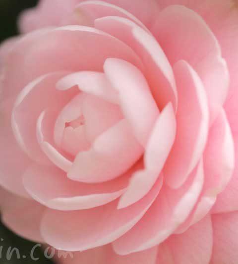 乙女椿の花の写真・ツバキの花言葉