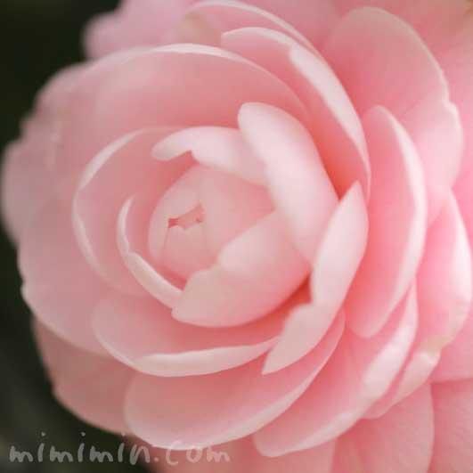 乙女椿の花の写真 花言葉の画像
