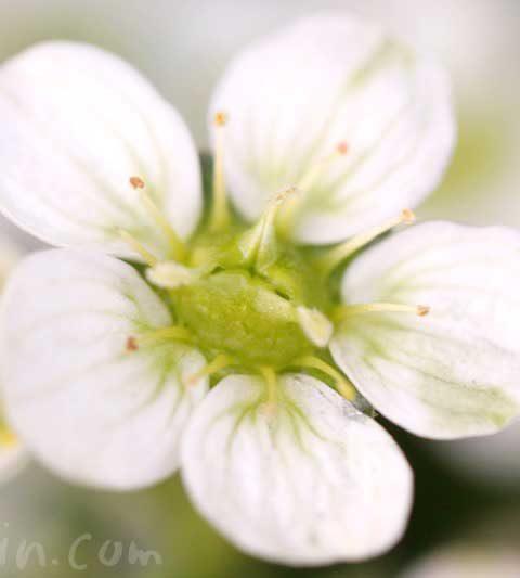 雲間草(クモマグサ)の花の写真・花言葉・名前の由来