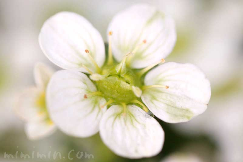 白い雲間草の花の写真