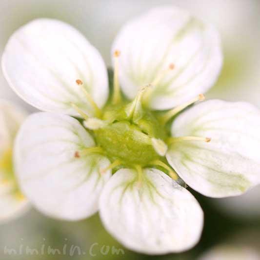 白いクモマグサの写真