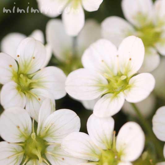 白いクモマグサの花の画像