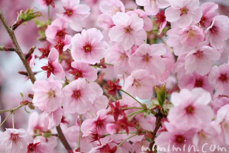 ピンク色の桜・陽光桜の画像