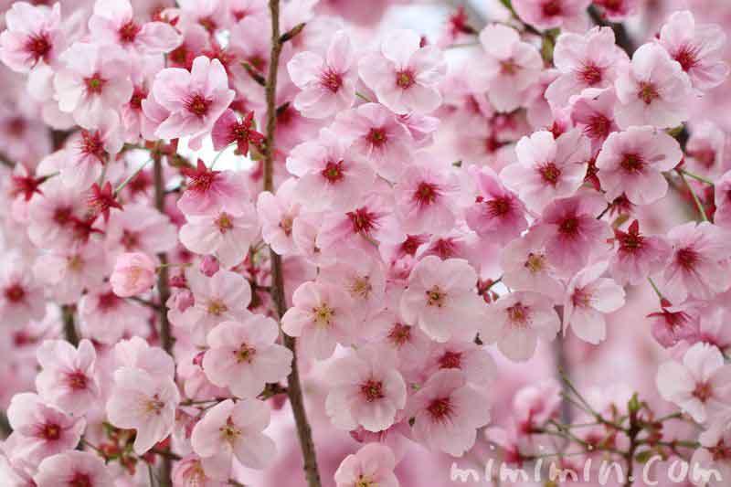 ピンク色の桜の花・陽光桜の画像