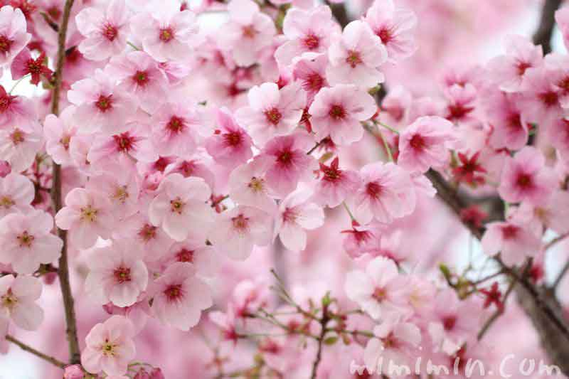 ピンク色の桜の花の写真
