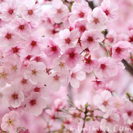 満開の陽光桜の花の写真