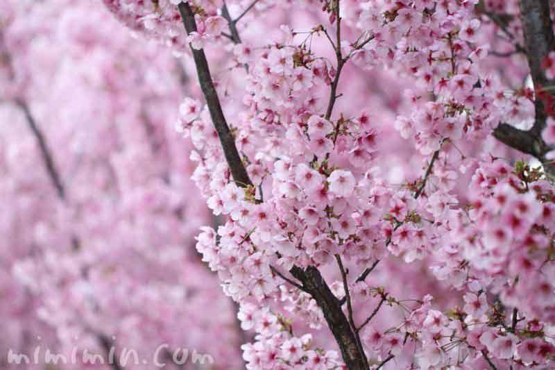 ピンク色の桜の画像