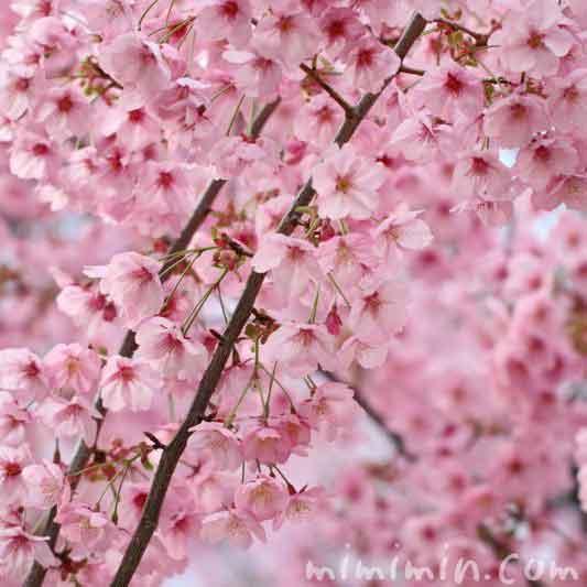ピンク色の桜の花・ヨウコウザクラの画像