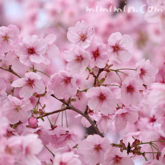 ピンク色の桜・ヨウコウザクラの画像
