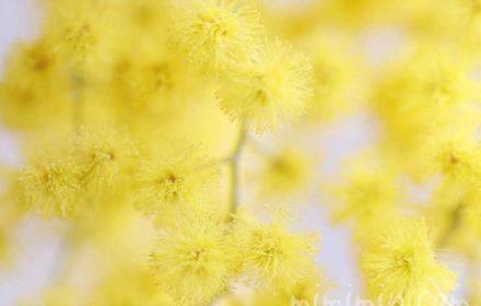 ミモザアカシアの花言葉・黄色いミモザアカシアの花の写真の画像