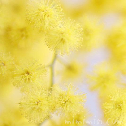 ギンヨウアカシアの花言葉・ギンヨウアカシアの写真の画像