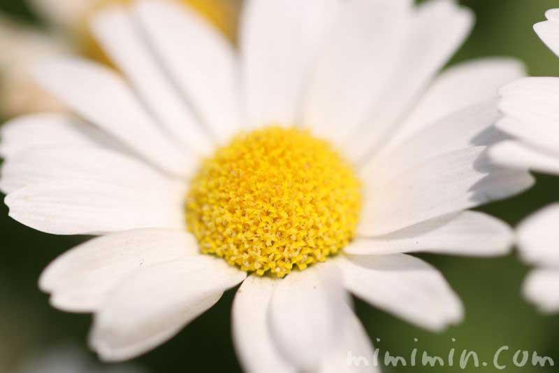 クリサンサマムノースポールの花言葉・誕生花の画像