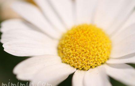 クリサンサマムノースポールの花言葉・誕生花