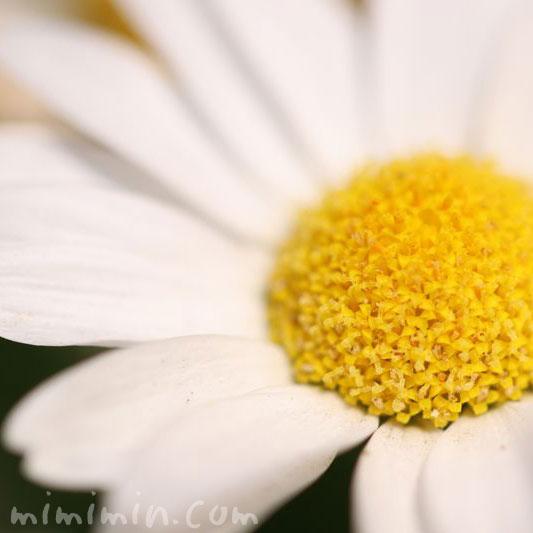 ノースポールの花言葉・誕生花の画像