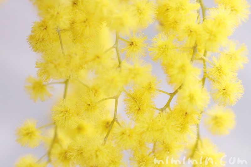 ミモザアカシアの花言葉・ミモザアカシアの写真の画像