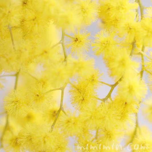 ギンヨウアカシアの花言葉・黄色のギンヨウアカシアの花の写真の画像