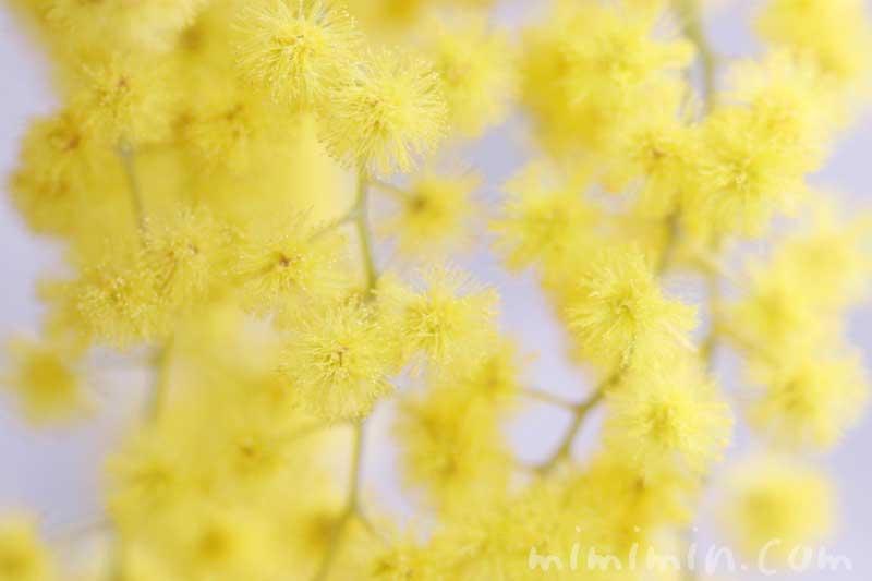ミモザアカシアの花言葉・ミモザアカシアの花の写真の画像