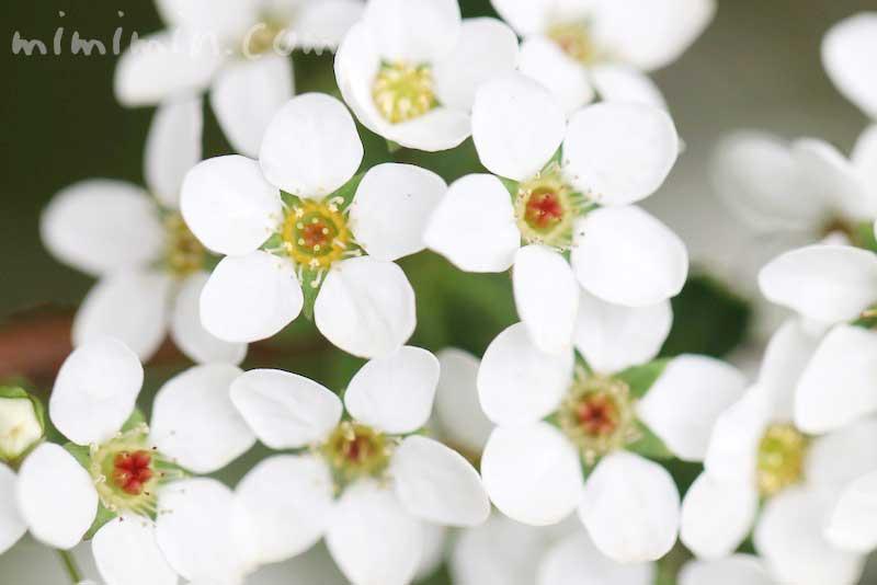 雪柳の花言葉・花の写真